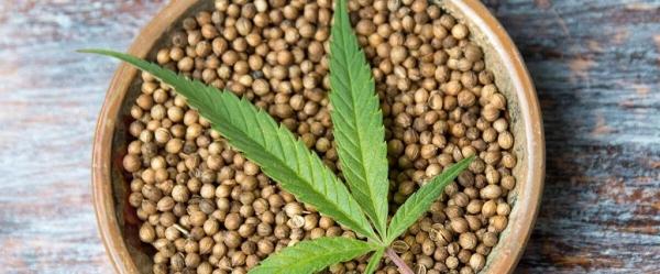 Семена конопли: польза ивред